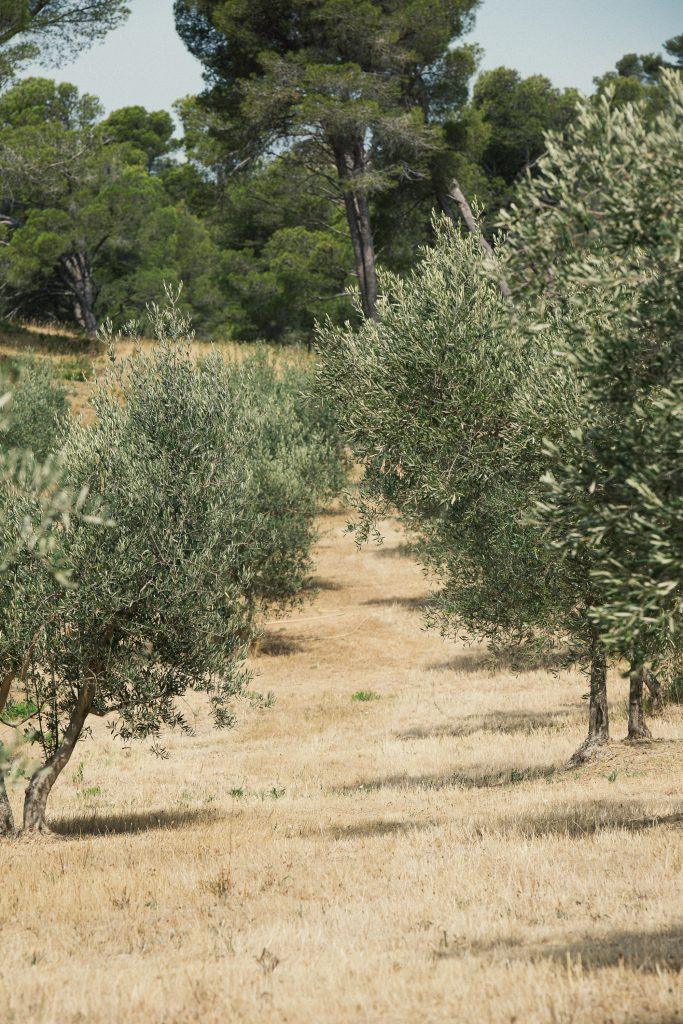 Olive trees in Provence by Capsule by Juliette