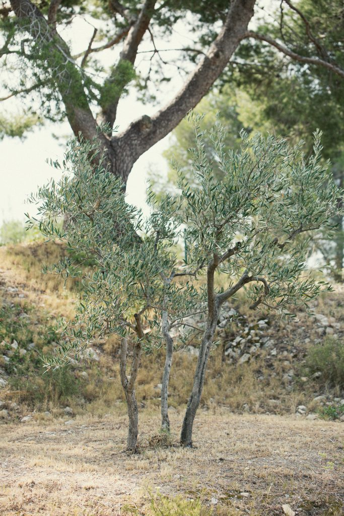 Provence Olive Trees